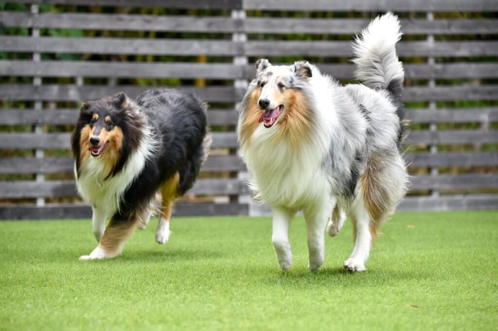 collie dog running on artificial grass